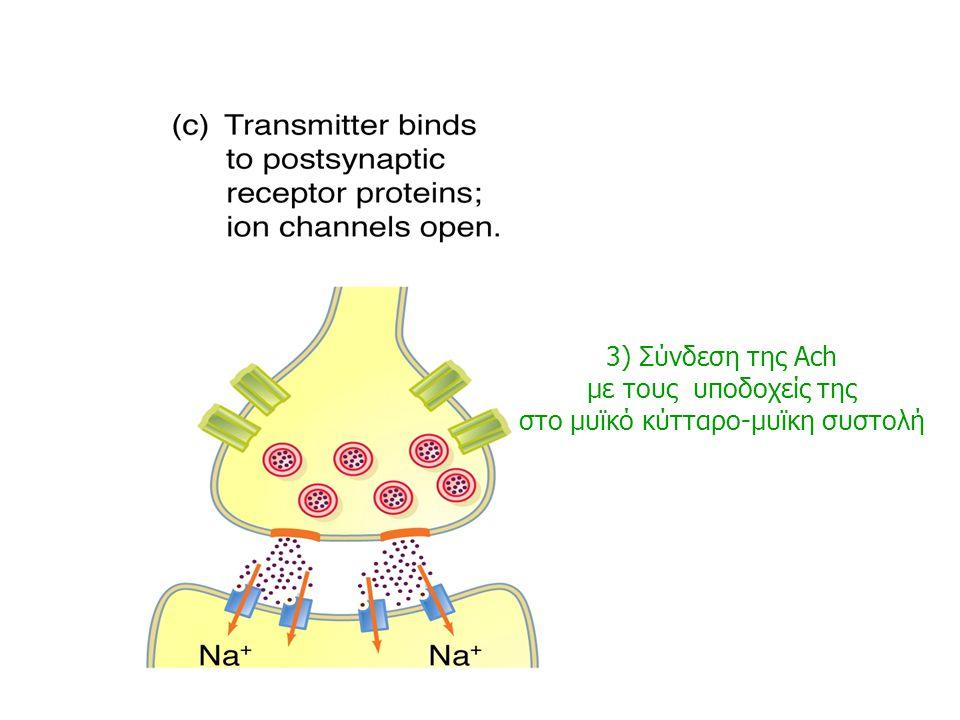 2) Άνοιγμα διόδων ασβεστίου απελευθέρωση νευρομεταβιβαστή (ακετυλοχολίνη) στη συναπτική σχισμή