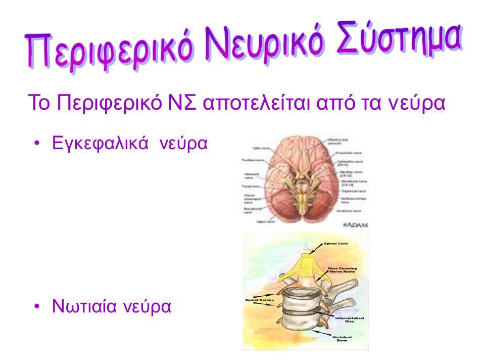 Το Κεντρικό Νευρικό Σύστημα αποτελείται από τον εγκέφαλο και το νωτιαίο μυελό