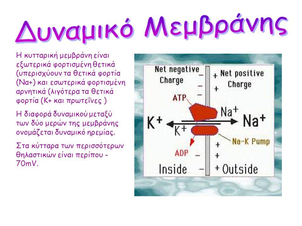 •Τα νευρικά κύτταρα χαρακτηρίζονται από την ιδιότητα της διεγερσιμότητας και αγωγιμότητας (απαντούν σε ερεθίσματα ) •Η μεμβράνη τους μπορεί να διεγερθ