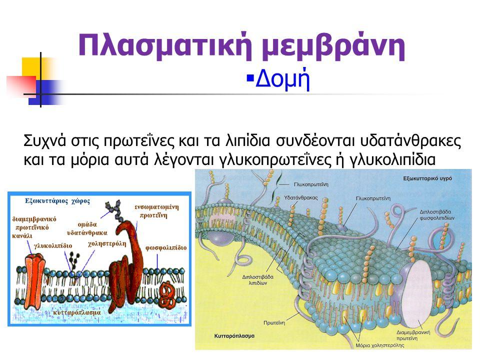 Πλασματική μεμβράνη  Δομή Τα υδρόφιλα τμήματα των λιπιδίων (κεφαλές) στρέφονται προς το ενδοκυτταρικό και προς το εξωκυτταρικό υδάτινο περιβάλλον καθώς έλκονται από αυτό, ενώ οι υδρόφοβες ουρές στρέφονται προς το εσωτερικό της μεμβράνης για να αποφύγουν το νερό αφού έλκονται μεταξύ τους προσδίδοντας σταθερότητα στη μεμβράνη.