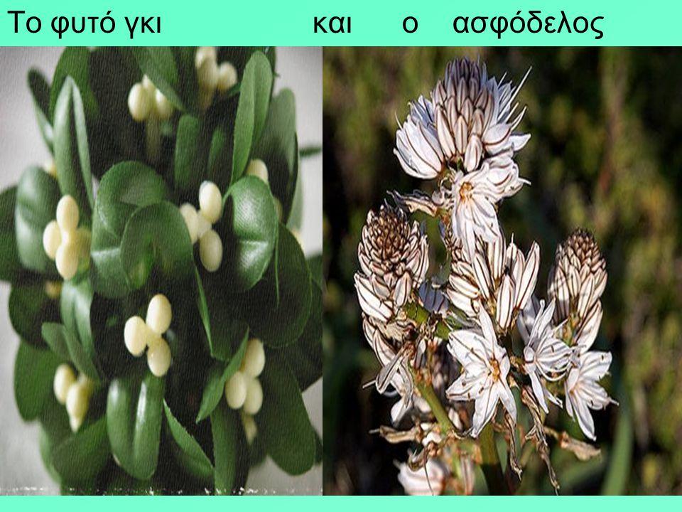 Η θεϊκή αγγελιαφόρος Ίρις έδωσε το όνομά της στο ομώνυμο λουλούδι. Η Ίρις η γερμανική, είναι ιθαγενής της ανατ. Μεσογείου, με τη μυρωδάτη ρίζα της αρω