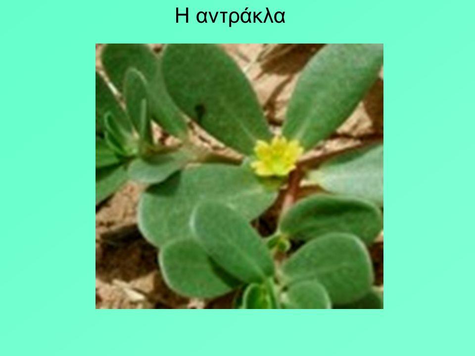 Στο > ο Διοσκουρίδης αναφέρει πάνω από 500 φυτά σαν θεραπευτικά. Αναφέρονται 65 βότανα αντιβηχικά, για αναισθησία στις εγχειρήσεις η ρίζα του μανδραγό