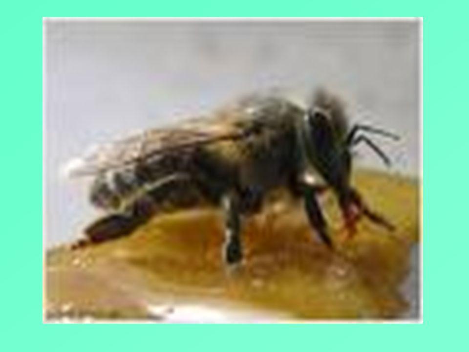Ο πατέρας της Ιατρικής Ιπποκράτης (462-352 π.Χ.) συνιστούσε το μέλι σε όλους τους ανθρώπους αλλά ιδιαίτερα στους ασθενείς. Ο Δημόκριτος όταν ρωτήθηκε