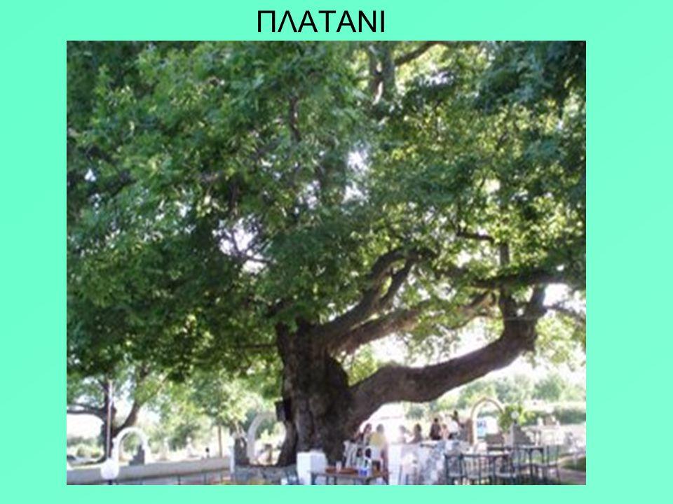 Ο πλάτανος κατά τον Θεόφραστο συνδέεται με τον ιερό γάμο που έγινε στη σκιά του στη Γόρτυνα της Κρήτης : Δία και Ευρώπης. Δεν έχανε ποτέ τα φύλλα του.