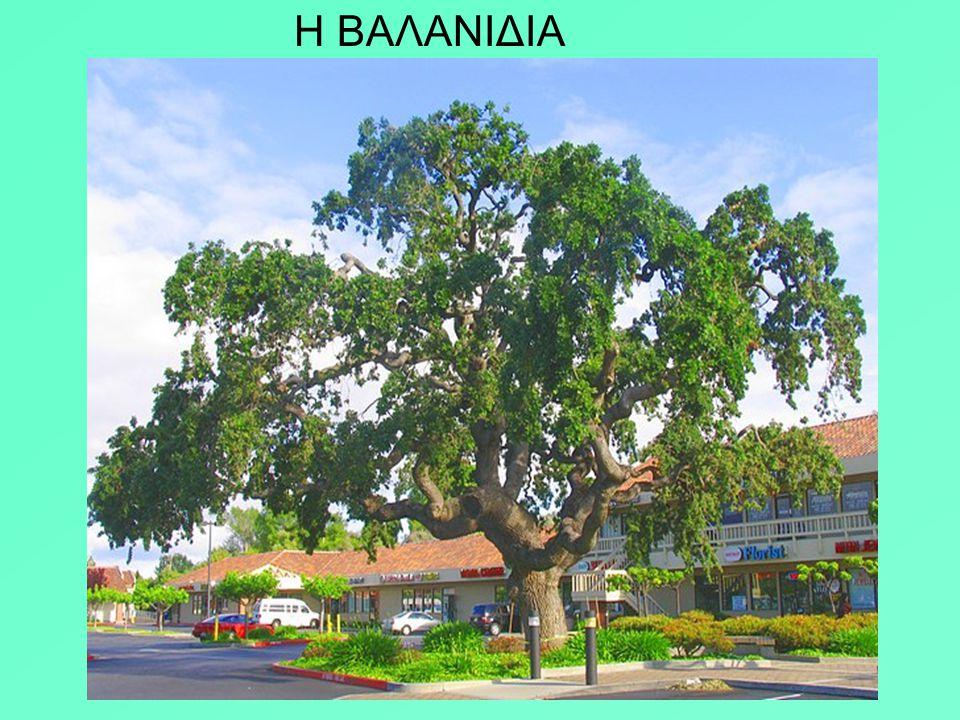 Στον Δία ήταν αφιερωμένη η δρυς, το πιο γερό δέντρο. Στη Δωδώνη, όταν ο Δίας δεχόταν τις παρακλήσεις, τα φύλλα της μουρμούριζαν και από την κορυφή αντ