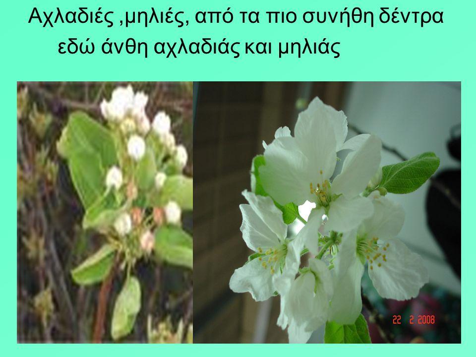 Ετίναξε την ανθισμένη αμυγδαλιά (δις) με τα χεράκια της και γέμισ' από τ΄ άνθη η πλάτη, η αγκαλιά και τα μαλλάκια της. Από το ποίημα του Γεωρ. Δροσίνη