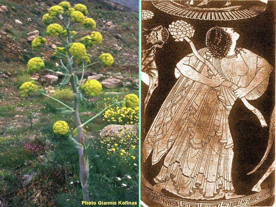 Ο Προμηθέας έκλεψε τη φωτιά από το καμίνι του Ήφαιστου και την έφερε στους ανθρώπους κρυμμένη σε ένα ξερό βλαστό του φυτού νάρθηκα που η ψύχα του σιγο