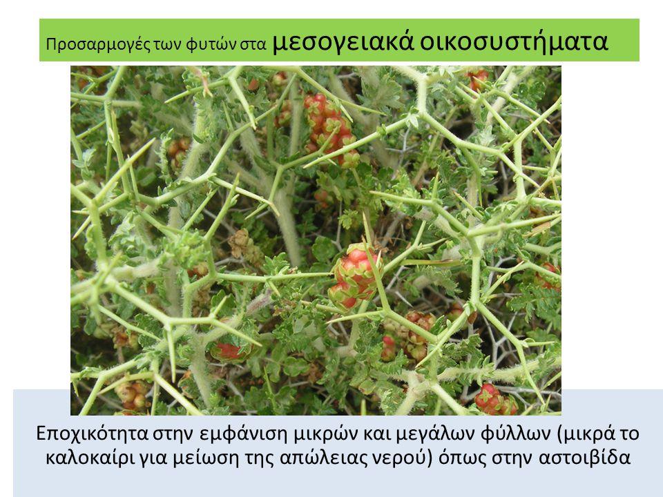 Εποχικότητα στην εμφάνιση μικρών και μεγάλων φύλλων (μικρά το καλοκαίρι για μείωση της απώλειας νερού) όπως στην αστοιβίδα Προσαρμογές των φυτών στα μεσογειακά οικοσυστήματα