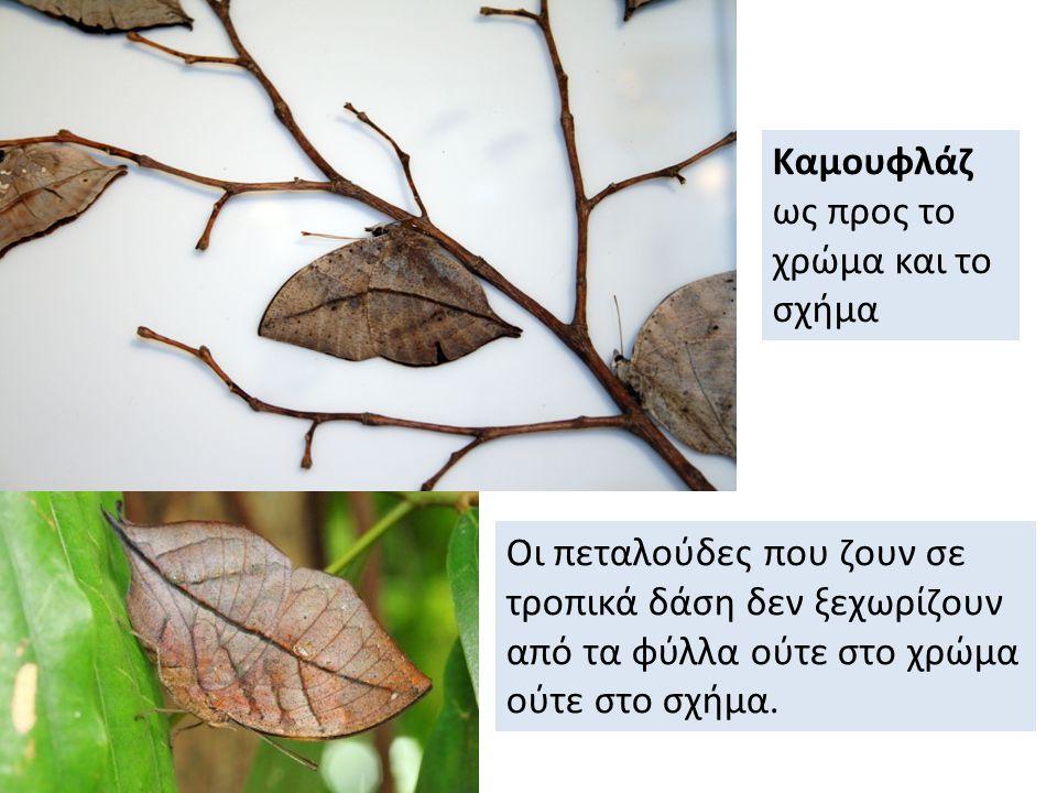 Καμουφλάζ ως προς το χρώμα και το σχήμα Οι πεταλούδες που ζουν σε τροπικά δάση δεν ξεχωρίζουν από τα φύλλα ούτε στο χρώμα ούτε στο σχήμα.