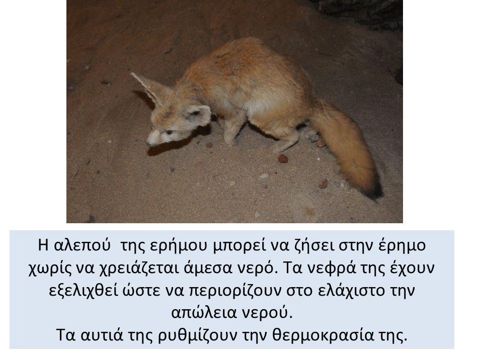 Η αλεπού της ερήμου μπορεί να ζήσει στην έρημο χωρίς να χρειάζεται άμεσα νερό.