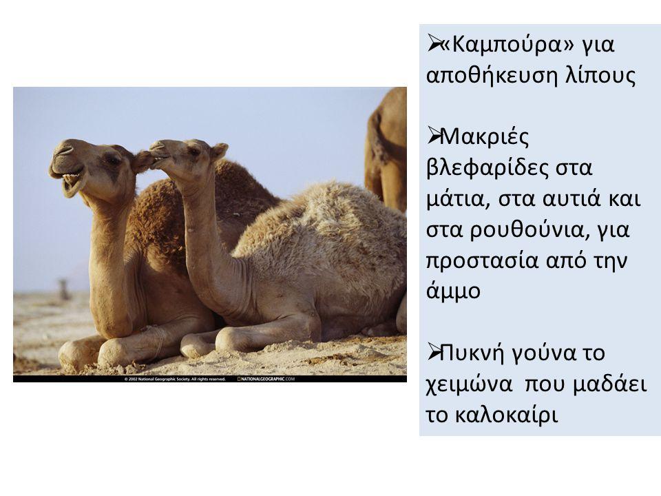  «Καμπούρα» για αποθήκευση λίπους  Μακριές βλεφαρίδες στα μάτια, στα αυτιά και στα ρουθούνια, για προστασία από την άμμο  Πυκνή γούνα το χειμώνα που μαδάει το καλοκαίρι
