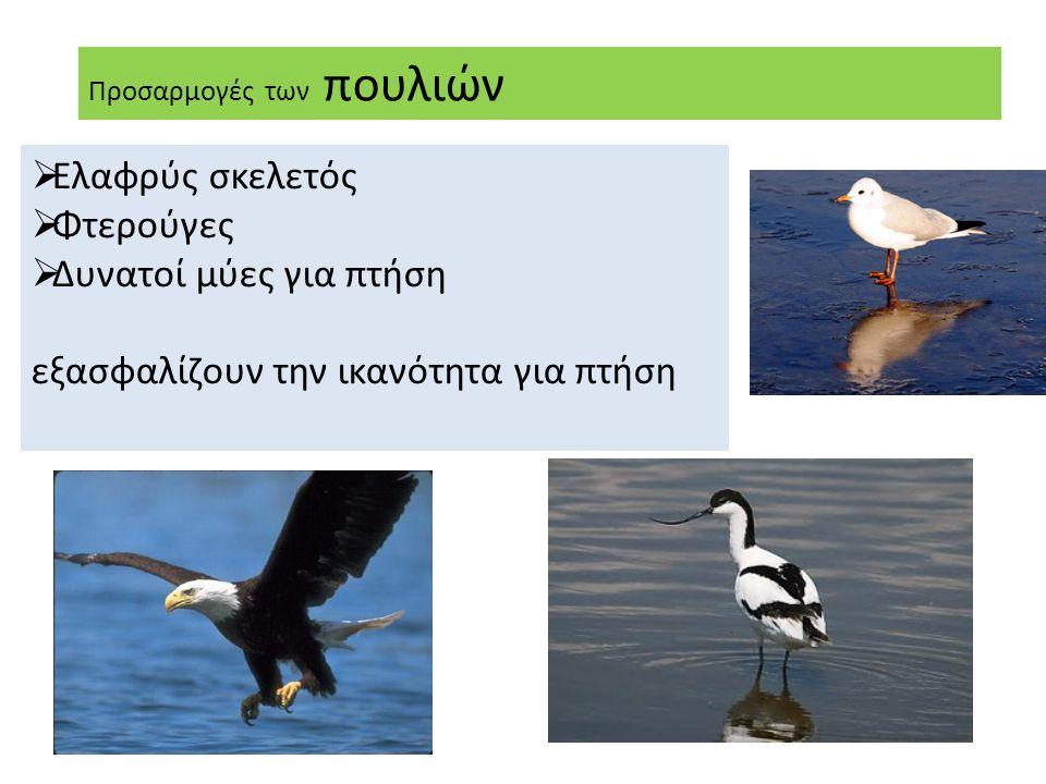 Προσαρμογές των πουλιών  Ελαφρύς σκελετός  Φτερούγες  Δυνατοί μύες για πτήση εξασφαλίζουν την ικανότητα για πτήση