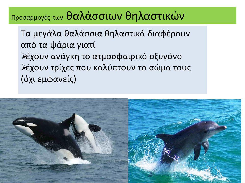 Προσαρμογές των θαλάσσιων θηλαστικών Τα μεγάλα θαλάσσια θηλαστικά διαφέρουν από τα ψάρια γιατί  έχουν ανάγκη το ατμοσφαιρικό οξυγόνο  έχουν τρίχες που καλύπτουν το σώμα τους (όχι εμφανείς)