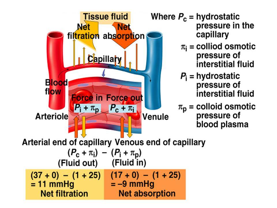 • H υδροστατική και η κολλοειδωσμωτική πίεση του διάμεσου χώρου διαδραματίζουν λιγότερο σημαντικό ρόλο σε σύγκριση με τις αντίστοιχες πιέσεις του πλάσματος στη ρύθμιση της μετακίνησης υγρών μεταξύ πλάσματος και διάμεσου χώρου • Μικρή αύξηση της υδροστατικής πίεσης ή μικρή μείωση της κολλοειδωσμωτικής πίεσης του πλάσματος δεν οδηγεί σε μετακίνηση υγρού στο διάμεσο χώρο και στη δημιουργία οιδήματος