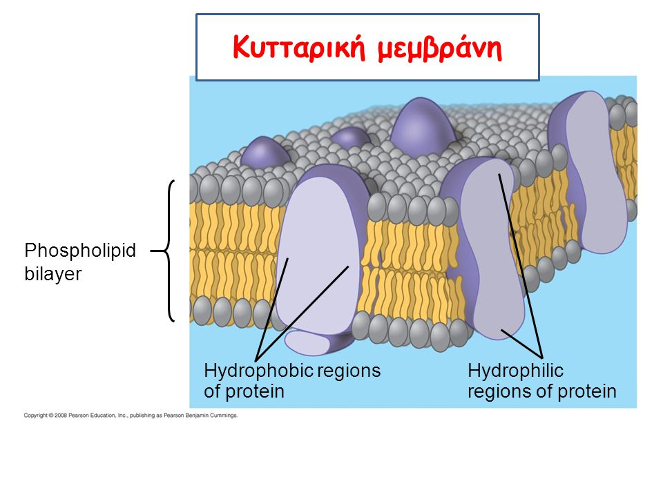 Phospholipid bilayer Hydrophobic regions of protein Hydrophilic regions of protein Κυτταρική μεμβράνη