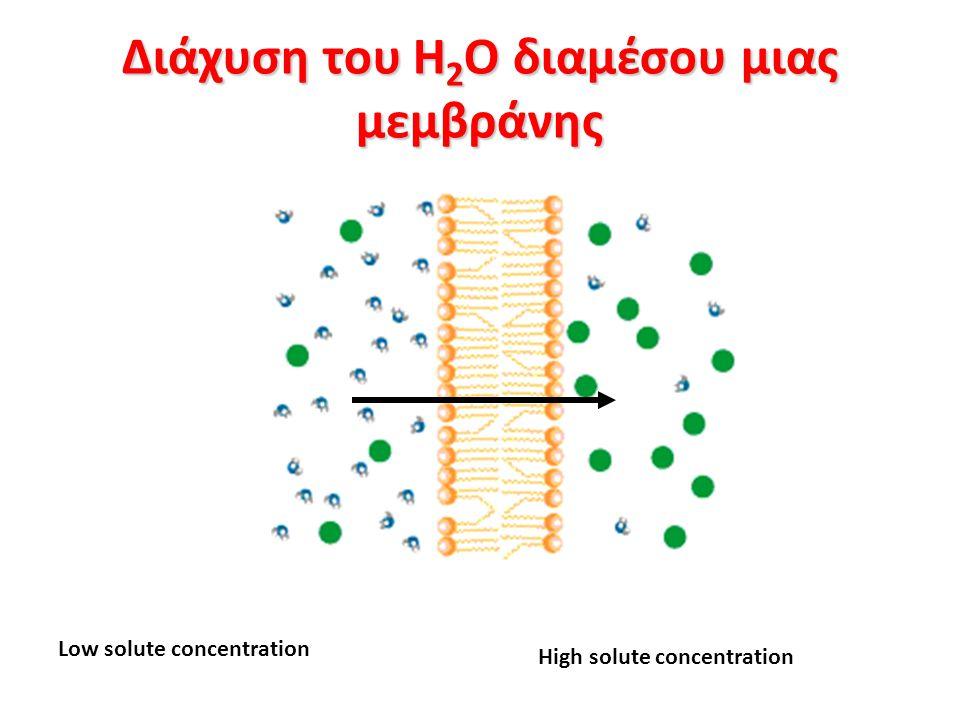 Διάχυση του H 2 O διαμέσου μιας μεμβράνης Low solute concentration High solute concentration