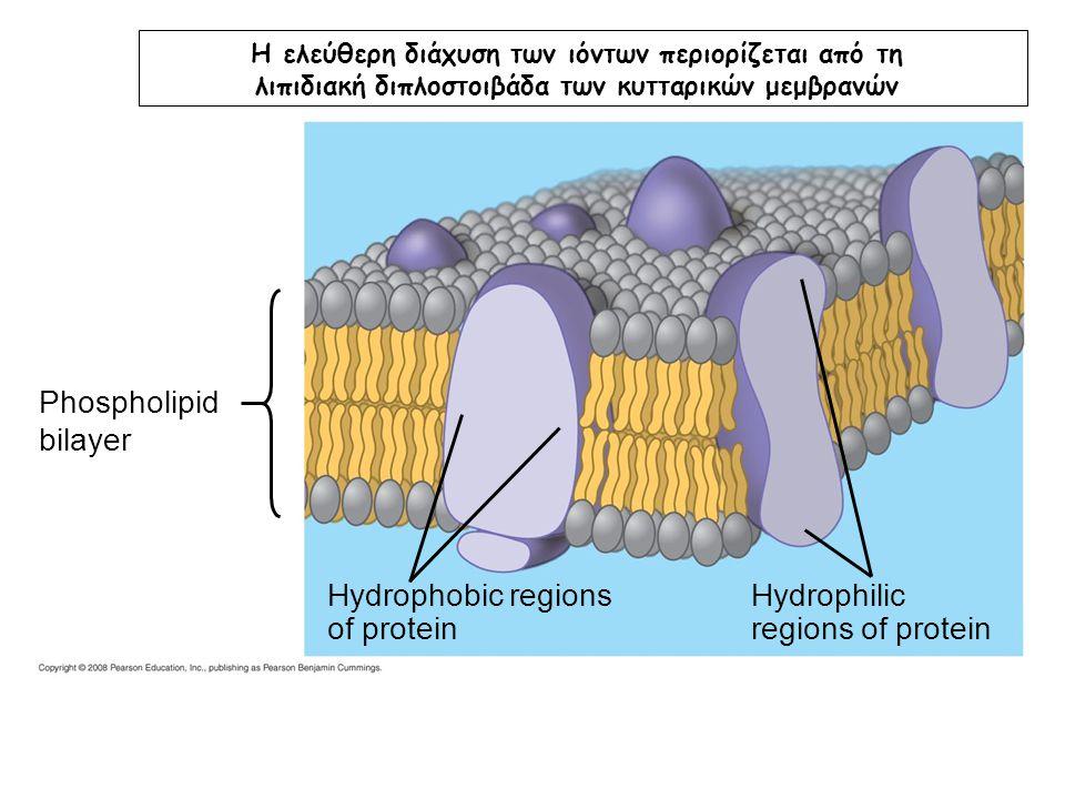 Phospholipid bilayer Hydrophobic regions of protein Hydrophilic regions of protein Η ελεύθερη διάχυση των ιόντων περιορίζεται από τη λιπιδιακή διπλοστ