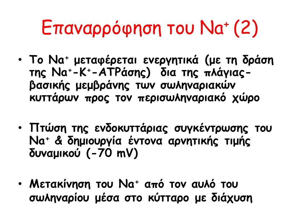 Eπαναρρόφηση του Νa + (2) • Το Νa + μεταφέρεται ενεργητικά (με τη δράση της Na + -K + -ATPάσης) δια της πλάγιας- βασικής μεμβράνης των σωληναριακών κυ