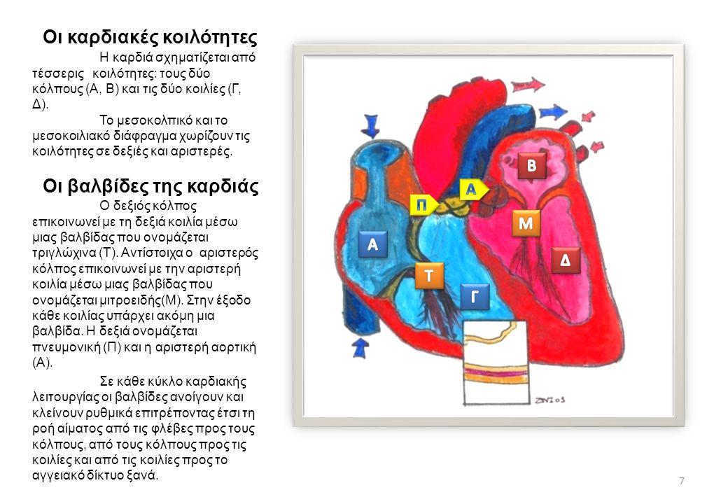 Οι καρδιακές κοιλότητες Η καρδιά σχηματίζεται από τέσσερις κοιλότητες: τους δύο κόλπους (Α, Β) και τις δύο κοιλίες (Γ, Δ). Το μεσοκολπικό και το μεσοκ