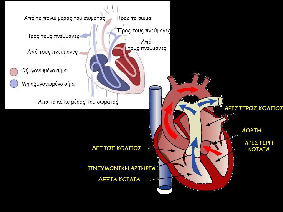 Από το κάτω μέρος του σώματος Οξυγονωμένο αίμα Μη οξυγονωμένο αίμα Προς τους πνεύμονες Από τους πνεύμονες Προς τους πνεύμονες Από τους πνεύμονες Από τ
