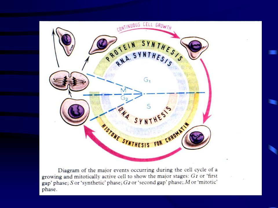 Κινητοχώρος •Εξειδικευμένη περιοχή του κεντρομεριδίου •Κάθε χρωματίδη φέρει το δικό της κινητοχώρο •Εξασφαλίζεται η κίνηση των χρωματίδων κάθε χρωμοσώματος προς τους αντίθετους πόλους -ισοκατανομή γενετικού υλικού στα θυγατρικά κύτταρα •Στη μίτωση οι δυο κινητοχώροι των αδελφών χρωματίδων προσανατολισμένοι προς τους αντίθετους πόλους.