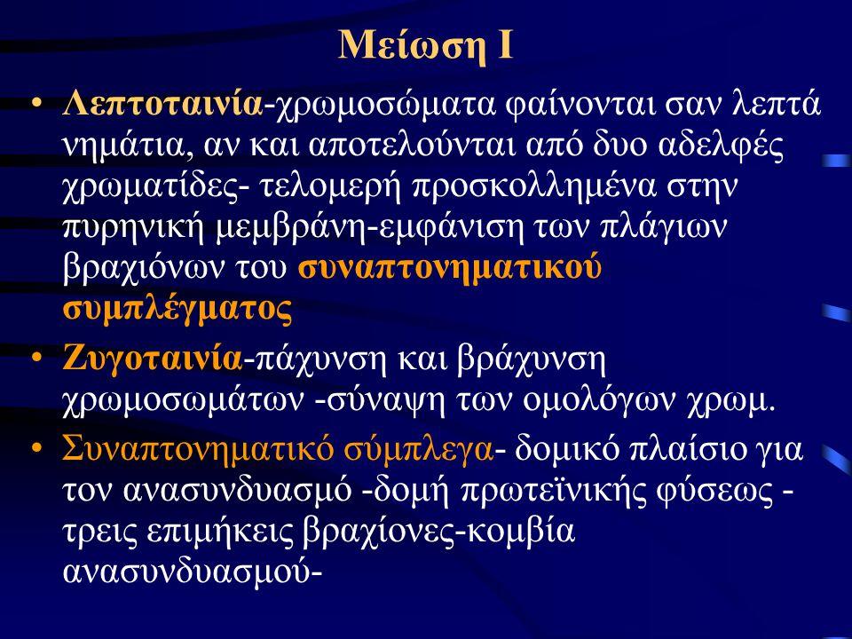 Μείωση Ι •Λεπτοταινία-χρωμοσώματα φαίνονται σαν λεπτά νημάτια, αν και αποτελούνται από δυο αδελφές χρωματίδες- τελομερή προσκολλημένα στην πυρηνική με