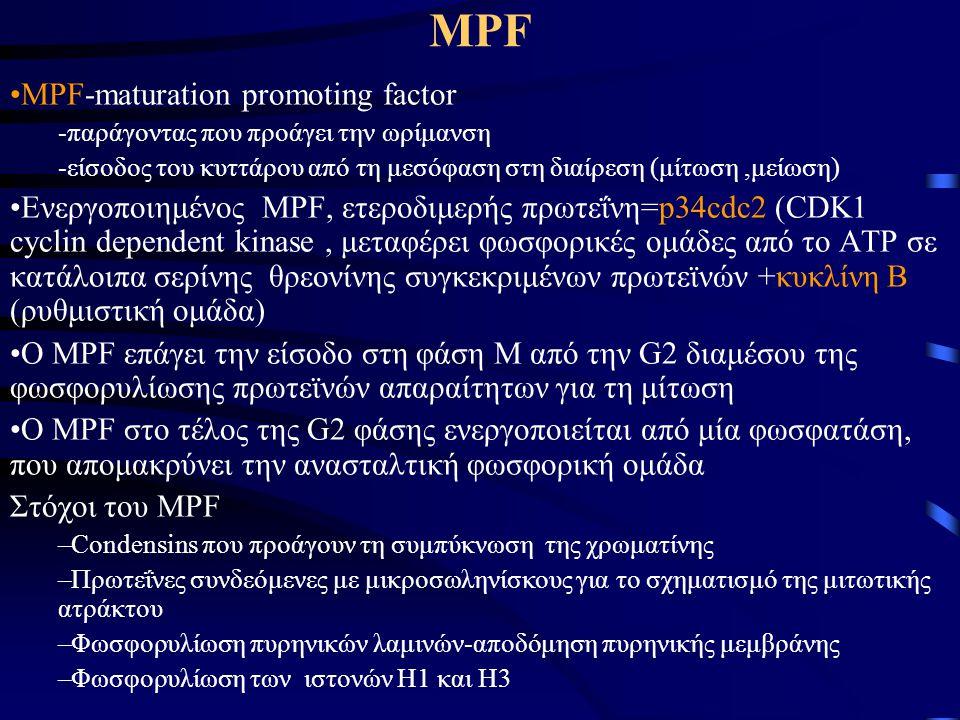 MPF •Ενεργοποιημένος MPF-ενεργοποίηση ενός συμπλέγματος πρωτεϊνών (APC, anaphase - promoting complex) για την αποδόμηση της κυκλίνης –αδρανοποίηση του MPF -επιστροφή στη μεσόφαση •Επίπεδα p34cdc2 σταθερά-επίπεδα κυκλίνης διακυμάνσεις –Αύξηση της κυκλίνης στη μεσόφαση, ελάττωση στη διάρκεια της διαίρεσης (διεργασίες οφειλόμενες στο ρυθμό αποδόμησης της κυκλίνης)