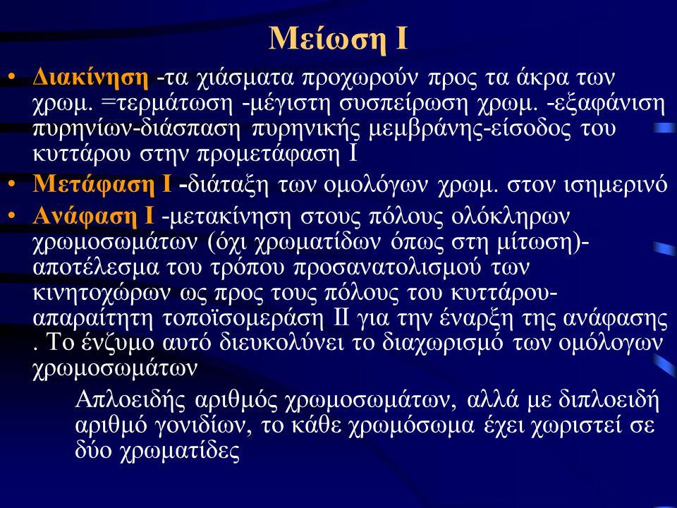 Μείωση Ι •Διακίνηση -τα χιάσματα προχωρούν προς τα άκρα των χρωμ. =τερμάτωση -μέγιστη συσπείρωση χρωμ. -εξαφάνιση πυρηνίων-διάσπαση πυρηνικής μεμβράνη