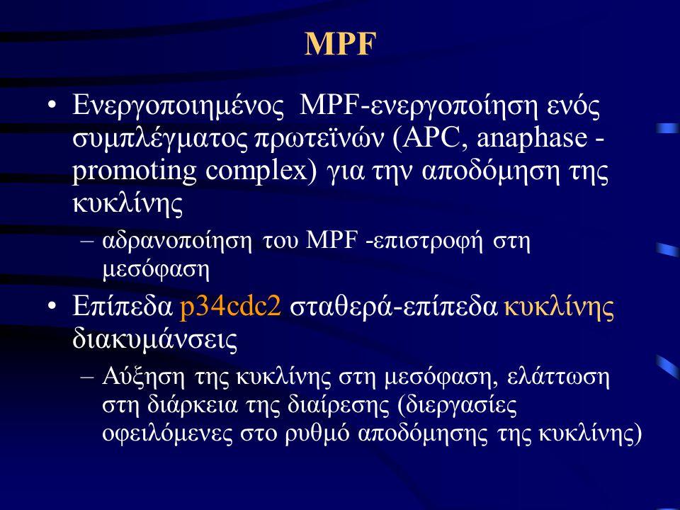 Δράση του MPF •Η απώλεια της δραστηριότητας του MPF επιτρέπει στα ένζυμα των κυτταρικών φωσφατασών να απομακρύνουν τις φωσφορικές ομάδες που είχαν προστεθεί υπό την επίδραση του MPF •Επανασχηματισμός της πυρηνικής μεμβράνης λόγω αποφωσφορυλίωσης των πυρηνικών λαμινών •Οι φωσφατάσες αδρανοποιούν τα ένζυμα που προκαλούν την αποδόμηση της κυκλίνης, επιτρέποντας έτσι την εκ νέου συσσώρευση της κυκλίνης κατά τη μεσόφαση