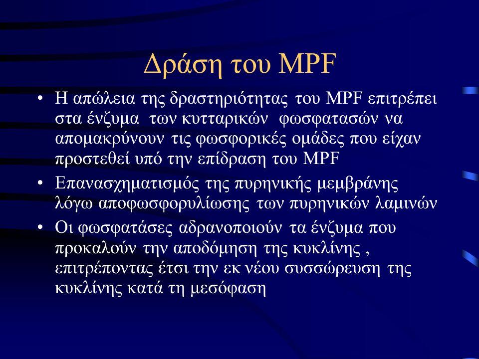 Δράση του MPF •Η απώλεια της δραστηριότητας του MPF επιτρέπει στα ένζυμα των κυτταρικών φωσφατασών να απομακρύνουν τις φωσφορικές ομάδες που είχαν προ