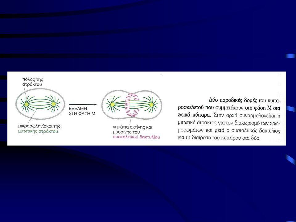 Ανάφαση •Μικρότερη χρονικά φάση της μίτωσης •Οι χρωματίδες αποκολλώνται από τους κινητοχώρους τους και μετακινούνται προς τους αντίθετους πόλους της ατράκτου •Διαχωρισμός των χρωματίδων εξαρτάται από την τοποϊσομεράση ΙΙ και την πρωτεόλυση με ουβικουιτίνη (ubiquitin) •Αύξηση του μήκους των πολικών μικροσωληνίσκων, επιμήκυνση του κυττάρου •Βράχυνση των μικροσωληνίσκων του κινητοχώρου