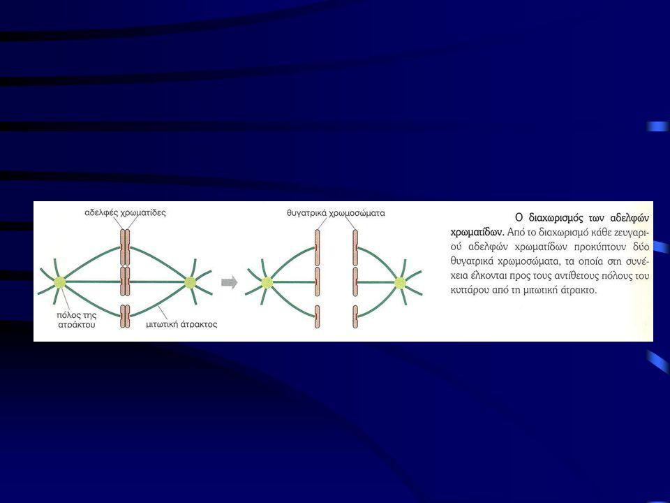 Μίτωση Προς το τέλος της φάσης S το κύτταρο διπλασιάζει το κεντροσωμάτιό του, παραγωγή δύο κεντροσωματίων προς την ίδια πλευρά του πυρήνα Το κεντροσωμάτιο=κύρια θέση εμπυρήνωσης των μικροσωληνίσκων Το κεντροσωμάτιο περιέχει ένα άμορφο στρώμα πρωτεΐνης με δακτυλίους γ-τουμπουλίνης (σωληνίνης) που αποτελούν τις θέσεις εμπυρήνωσης για την αύξηση των μικροσωληνίσκων, στα ζωικά κύτταρα, το κεντροσωμάτιο περιέχει ζεύγος κεντριολίων •Πρόφαση -συμπύκνωση χρωματίνης (έχει ήδη διπλασιαστεί) σε παράλληλες αδελφές χρωματίδες -εξαφάνιση του πυρηνίου •Τα δύο θυγατρικά κεντροσωμάτια μετακινούνται στους αντίθετους πόλους μέσω κινητήριων πρωτεϊνών (δυνεϊνη- κινησίνη) -συναρμολόγηση της μιτωτικής ατράκτου έξω από τον πυρήνα