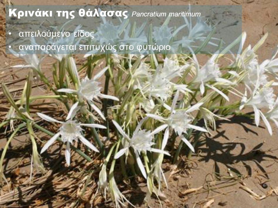 Κρινάκι της θάλασας Pancratium maritimum •απειλούμενο είδος •αναπαράγεται επιτυχώς στο φυτώριο
