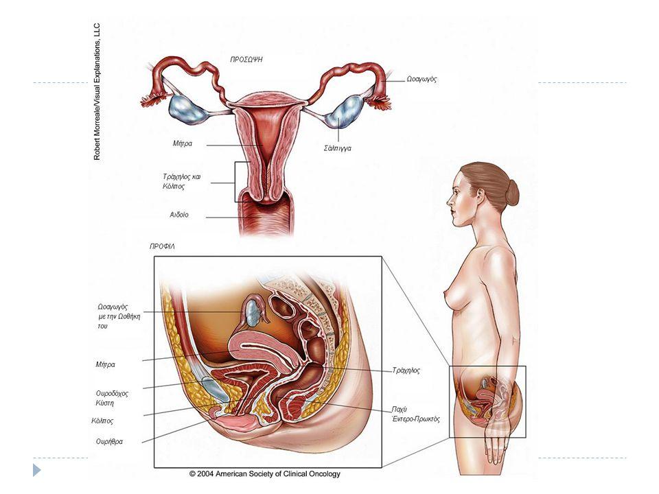 ΩΟΘΗΚΗ Οι δύο ωοθήκες είναι οι γεννητικοί αδένες της γυναίκας.
