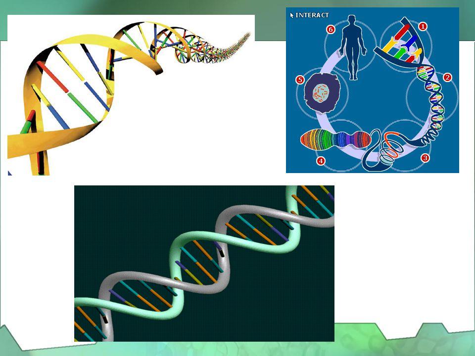 Η διπλή έλικα του DNA •Tο 1953 οι Τζέιμς Γουάτσον (J. Watson), και Φράνσις Κρίκ, (F. Crick), δύο Βρετανοί ερευνητές που εργάζονταν στο Πανεπιστήμιο το