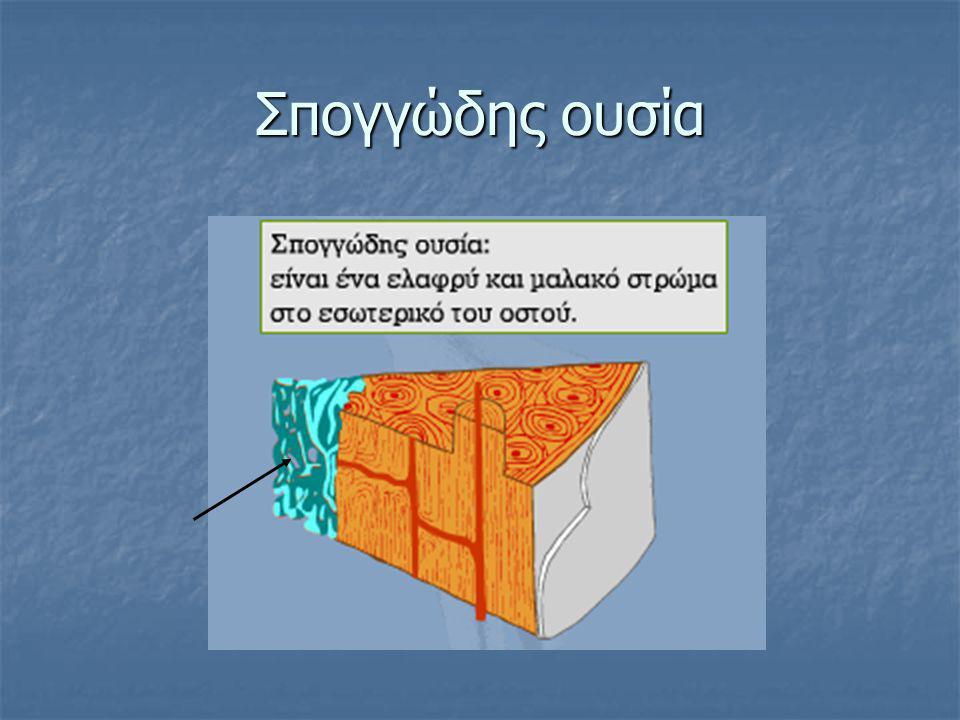 Οσφυϊκοί σπόνδυλοι  πέντε οσφυϊκοί, που το σώμα τους είναι μεγαλύτερο όλων των προηγουμένων σπονδύλων.