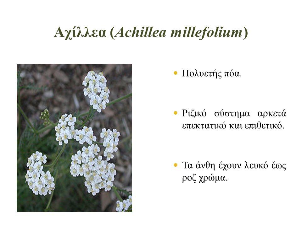 Αχίλλεα (Achillea millefolium)  Πολυετής πόα. Ριζικό σύστημα αρκετά επεκτατικό και επιθετικό.