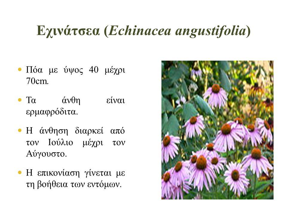  Πόα με ύψος 40 μέχρι 70cm. Τα άνθη είναι ερμαφρόδιτα.