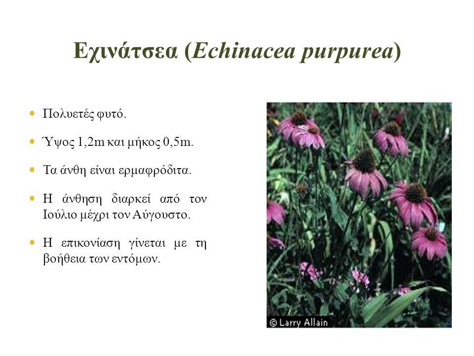 Εχινάτσεα (Echinacea purpurea)  Πολυετές φυτό. Ύψος 1,2m και μήκος 0,5m.