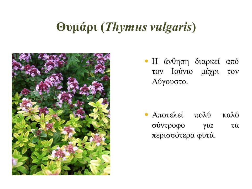 Θυμάρι (Thymus vulgaris)  Η άνθηση διαρκεί από τον Ιούνιο μέχρι τον Αύγουστο.