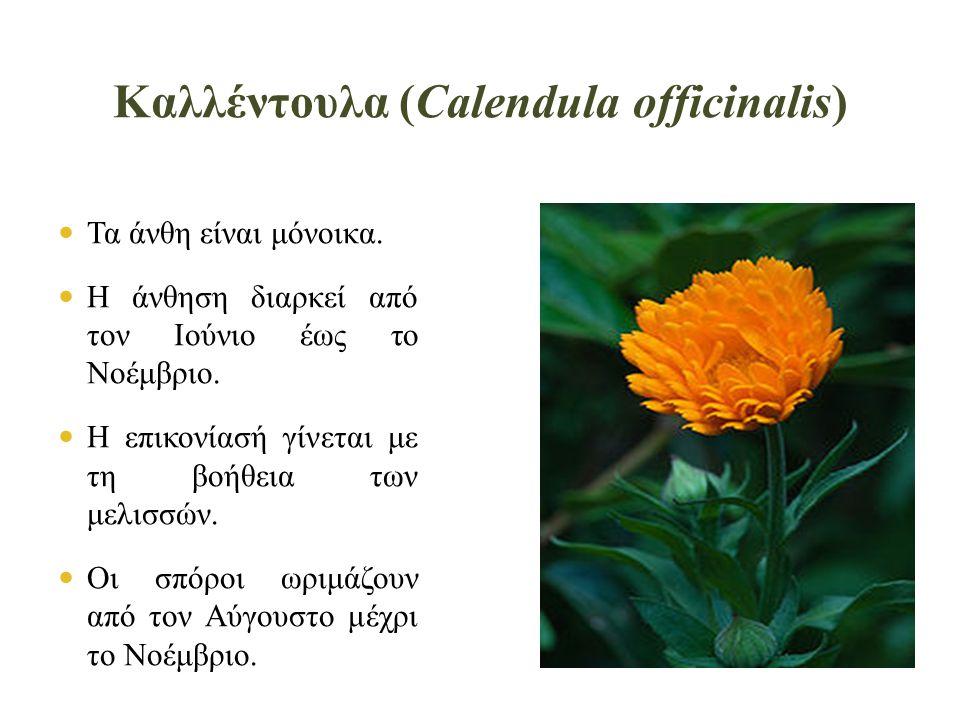 Καλλέντουλα (Calendula officinalis)  Τα άνθη είναι μόνοικα.