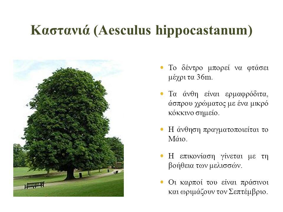 Καστανιά (Aesculus hippocastanum)  Το δέντρο μπορεί να φτάσει μέχρι τα 36m.