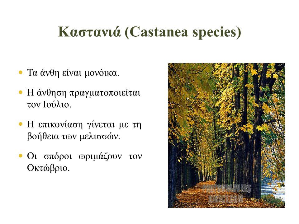 Καστανιά (Castanea species)  Τα άνθη είναι μονόικα.