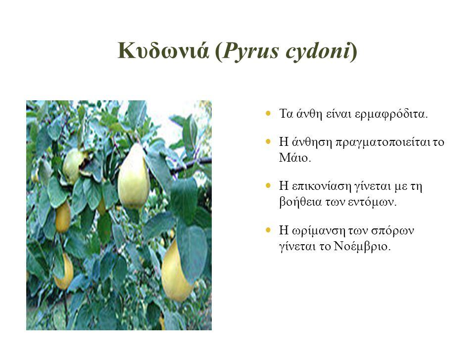Κυδωνιά (Pyrus cydoni)  Τα άνθη είναι ερμαφρόδιτα.