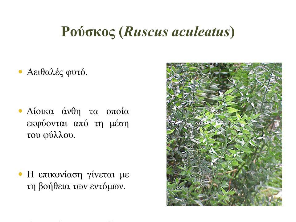 Ρούσκος (Ruscus aculeatus)  Αειθαλές φυτό.