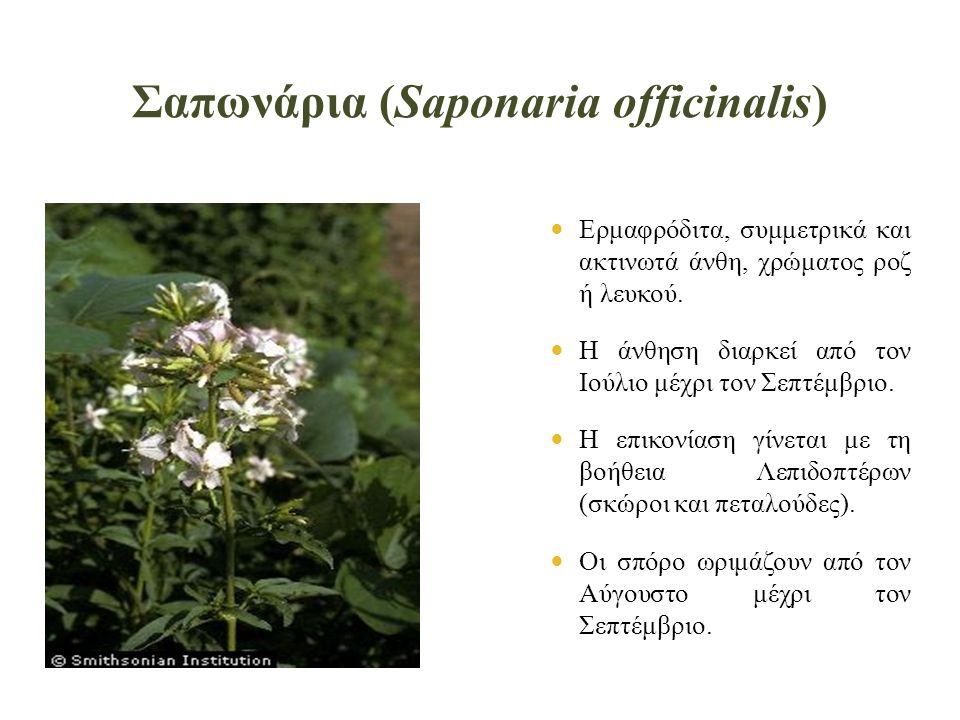 Σαπωνάρια (Saponaria officinalis)  Ερμαφρόδιτα, συμμετρικά και ακτινωτά άνθη, χρώματος ροζ ή λευκού.
