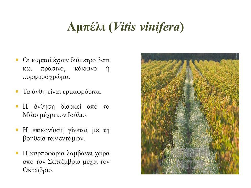 Αμπέλι (Vitis vinifera)  Οι καρποί έχουν διάμετρο 3cm και πράσινο, κόκκινο ή πορφυρό χρώμα.