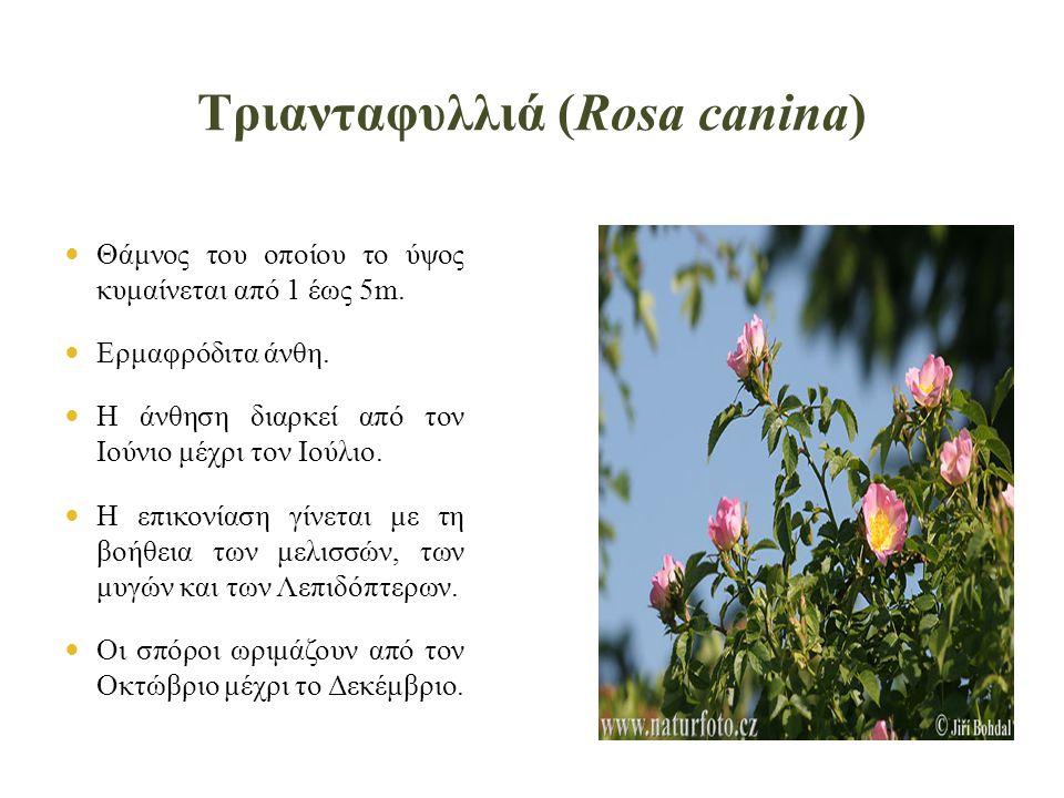 Τριανταφυλλιά (Rosa canina)  Θάμνος του οποίου το ύψος κυμαίνεται από 1 έως 5m.