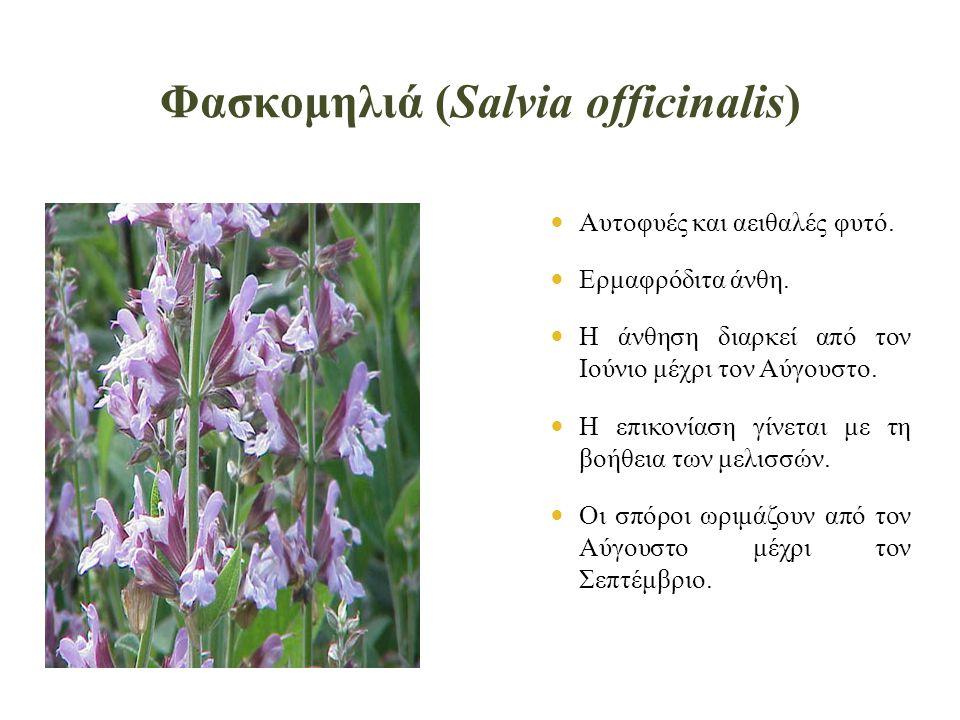 Φασκομηλιά (Salvia officinalis)  Αυτοφυές και αειθαλές φυτό.