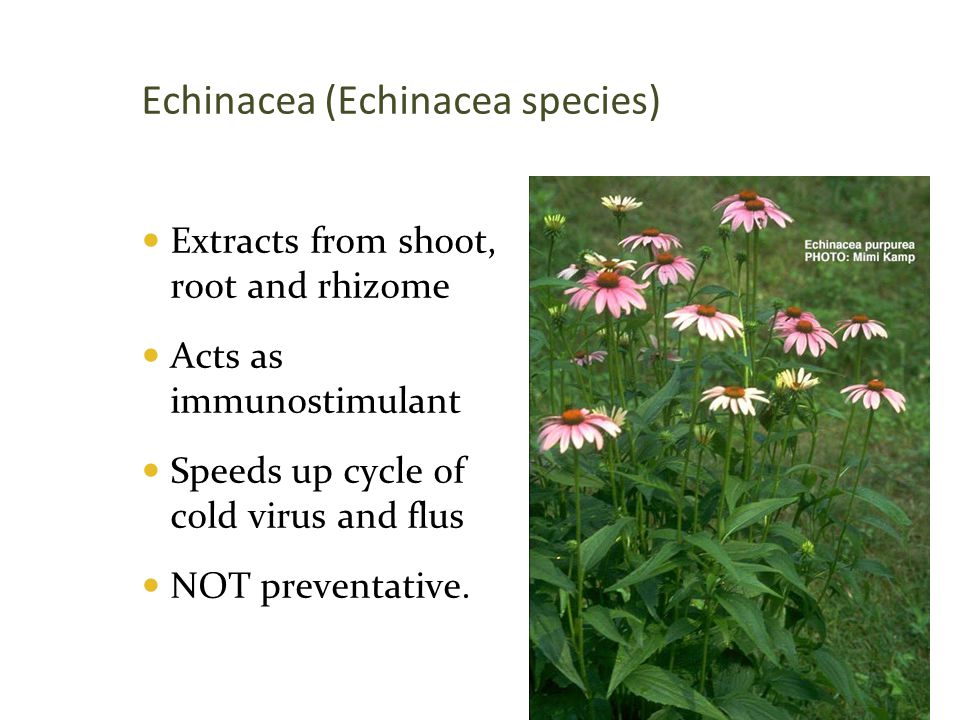 Echinacea (Echinacea species)  Extracts from shoot, root and rhizome  Acts as immunostimulant  Speeds up cycle of cold virus and flus  NOT prevent